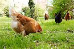 Chickens Roaming Stock Photo - Premium Rights-Managed, Artist: ableimages, Code: 822-03601553