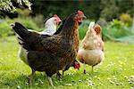 Chickens Roaming Stock Photo - Premium Rights-Managed, Artist: ableimages, Code: 822-03601579