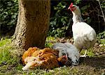 Chickens Enjoying a Dust Bath Stock Photo - Premium Rights-Managed, Artist: ableimages, Code: 822-03601719