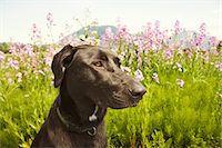 Black dog in field Stock Photo - Premium Royalty-Freenull, Code: 618-03608169