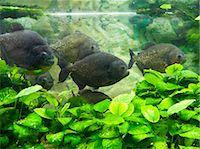 piranha fish - Piranha in aquarium Stock Photo - Premium Royalty-Freenull, Code: 618-03608762