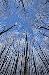 Looking up at Snow Covered Treetops, Wasserkuppe, Rhon Mountains, Hesse, Germany Stock Photo - Premium Royalty-Free, Artist: Raimund Linke, Code: 600-03615521