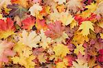 Autumn, Almond Park, Kitsilano, Vancouver, British Columbia, Canada Stock Photo - Premium Royalty-Free, Artist: Andrew Kolb, Code: 600-03615881