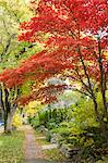 Japanese Maple in Autumn, 13th Avenue in West Point Grey, Vancouver, British Columbia, Canada Stock Photo - Premium Rights-Managed, Artist: J. A. Kraulis, Code: 700-03615865