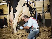 Farmer Milking Holstein Cow on Organic Dairy Farm, Ontario, Canada Stock Photo - Premium Rights-Managednull, Code: 700-03621365