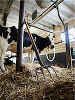 Pitchfork and Holstein Dairy Cow in Barn, Ontario, Canada Stock Photo - Premium Rights-Managednull, Code: 700-03621434