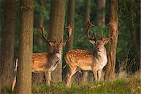 Two Male Fallow Deer Stock Photo - Premium Rights-Managednull, Code: 700-03622699