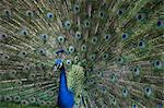 portrait peacock with spread feathers Stock Photo - Premium Royalty-Free, Artist: Cultura RM, Code: 621-03623452