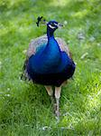 Male peacock (Pavo cristatus) Stock Photo - Premium Royalty-Free, Artist: Garreau Designs, Code: 618-03631462