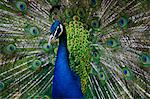 Male peacock (Pavo cristatus) displaying tail feathers Stock Photo - Premium Royalty-Free, Artist: foodanddrinkphotos, Code: 618-03631889