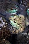 Detail of a bullfrog Stock Photo - Premium Royalty-Free, Artist: Visuals Unlimited, Code: 618-03632726