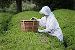 Woman Picking Green Tea, Kagoshima Prefecture, Kyushu, Japan Stock Photo - Premium Rights-Managed, Artist: Jeremy Woodhouse, Code: 700-03638972