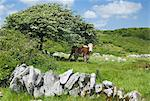 Cow Looking Out From Under A Hawthorn Tree, County Clare, Ireland Stock Photo - Premium Rights-Managed, Artist: IIC, Code: 832-03640840