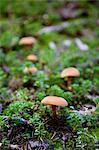 Mushrooms in Garibaldi Provincial Park, British Columbia, Canada Stock Photo - Premium Royalty-Free, Artist: Grant Harder, Code: 600-03641251