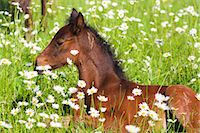 Missouri Fox Trotter Foal Lying in Daisies Stock Photo - Premium Rights-Managednull, Code: 700-03641318