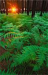 Fern leaves covering the ground, Tsitsikamma, South Africa Stock Photo - Premium Royalty-Free, Artist: Tom Collicott, Code: 682-03643800