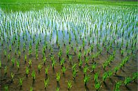 forestry - Thailand,Chiang Mai,Rice Paddy Fields Stock Photo - Premium Rights-Managednull, Code: 849-03645242
