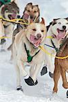 Close up of musher Quinn Iten's dog team running down a hill during the 2010 Iditarod restart in Willow, Southcentral Alaska, Winter/n
