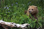 View of Brown bear resting in a patch of wild geraniums, Russian River, Kenai Peninsula, Southcentral Alaska, Chugach National Forest, Kenai National Wildlife Refuge, Summer Stock Photo - Premium Rights-Managed, Artist: AlaskaStock, Code: 854-03645951