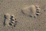 Close up view of Brown bear tracks in sand, Hinchinbrook Island, Prince William Sound, Chugach Mountains, Chugach National Forest, Southcentral Alaska, Summer Stock Photo - Premium Rights-Managed, Artist: AlaskaStock, Code: 854-03645970