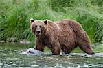 View of a Brown bear fishing for salmon in a stream near Prince William Sound, Chugach Mountains, Chugach National Forest, Alaska, Southcentral, Summer Stock Photo - Premium Rights-Managed, Artist: AlaskaStock, Code: 854-03645983