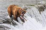 Adult Brown Bear fishing for salmon at top of  Brooks Falls, Katmai National Park, Southwest Alaska, Summer Stock Photo - Premium Rights-Managed, Artist: AlaskaStock, Code: 854-03645995