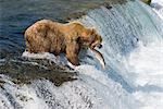 Adult Brown Bear fishing for salmon at top of  Brooks Falls, Katmai National Park, Southwest Alaska, Summer Stock Photo - Premium Rights-Managed, Artist: AlaskaStock, Code: 854-03645997