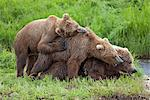 Two Brown Bear (Ursus arctos) cubs cuddling with their mother by Mikfit Creek, McNeil River State Game Sanctuary and Refuge, Southwest Alaska, Summer Stock Photo - Premium Rights-Managed, Artist: AlaskaStock, Code: 854-03646007
