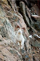 ram (animal) - A curious full-curled Dall Sheep ram perches on a rocky ledge at mile 107 of the Seward Highway near Windy Corner, Chugach State Park, Southcentral Alaska, Autumn Stock Photo - Premium Rights-Managednull, Code: 854-03646011