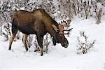 Young bull moose browsing amongst snowcovered foliage near Kincaid Park in Anchorage, Southcentral Alaska, Winter Stock Photo - Premium Rights-Managed, Artist: AlaskaStock, Code: 854-03646016