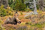 A cow moose rests in a blueberry patch during the Autumn rut in Chugach State Park near Anchorage, Southcentral Alaska, Fall/n Stock Photo - Premium Rights-Managed, Artist: AlaskaStock, Code: 854-03646022