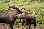 A bull moose examines a cow moose during the autumn rut in Chugach State Park near Powerline Pass above Anchorage, Southcentral Alaska, Fall/n Stock Photo - Premium Rights-Managed, Artist: AlaskaStock, Code: 854-03646027