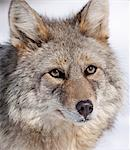 Portrait of a wild Coyote near the Alaska Wildlife Conservation Center, Southcentral Alaska, Winter Stock Photo - Premium Rights-Managed, Artist: AlaskaStock, Code: 854-03646038