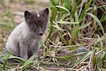 Close up of an Arctic Fox pup peering through grass, Saint Paul Island, Pribilof Islands, Bering Sea, Alaska, Southwestern, Summer Stock Photo - Premium Rights-Managed, Artist: AlaskaStock, Code: 854-03646045