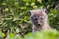 shy baby - Close up of an Arctic Fox  pup peeking out from its den, Saint Paul Island, Pribilof Islands, Bering Sea, Southwestern Alaska, Summer Stock Photo - Premium Rights-Managednull, Code: 854-03646047