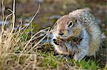An Arctic ground squirrel feasts on grass near the Raven Glacier cabin in Crow Pass, Chugach State Park, Southcentral Alaska, Summer Stock Photo - Premium Rights-Managed, Artist: AlaskaStock, Code: 854-03646120
