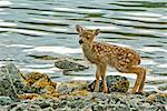 Sitka Black-tail deer fawn on Knight Island off Johnson Bay in Prince William Sound, Kenai Peninsula, Southcentral Alaska, Summer Stock Photo - Premium Rights-Managed, Artist: AlaskaStock, Code: 854-03646123