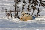 Twin Polar Bear (Ursus maritimus) cubs snuggle with their mother in the snow, Wapusk National Park, Manitoba, Canada, Winter Stock Photo - Premium Rights-Managed, Artist: AlaskaStock, Code: 854-03646128