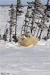 Twin Polar Bear (Ursus maritimus) cubs snuggle with their mother in the snow, Wapusk National Park, Manitoba, Canada, Winter Stock Photo - Premium Rights-Managed, Artist: AlaskaStock, Code: 854-03646129