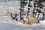 Twin Polar Bear (Ursus maritimus) cubs snuggle with their mother in the snow, Wapusk National Park, Manitoba, Canada, Winter Stock Photo - Premium Rights-Managed, Artist: AlaskaStock, Code: 854-03646130
