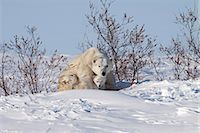 shy baby - A 12- 14 week old Polar Bear (Ursus maritimus) cub huddles beneath its mothers front legs for protection and shelter, Wapusk National Park, Manitoba, Canada, Winter Stock Photo - Premium Rights-Managednull, Code: 854-03646136