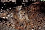 View of Lynx kittens in their den site under a rotten log, Mission Mountains, Montana, Lolo National Forest, USA Stock Photo - Premium Rights-Managed, Artist: AlaskaStock, Code: 854-03646151