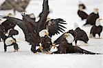 Two adult Bald Eagles (Haliaeetus leucocephalus)  fight on the snow covered ground over a herring fish  Homer Spit, Homer, Kenai Peninsula, Southcentral Alaska, Winter Stock Photo - Premium Rights-Managed, Artist: AlaskaStock, Code: 854-03646176