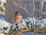 Close up view of a male Redpoll in spring breeding colors, Anchorage, Southcentral Alaska Stock Photo - Premium Rights-Managed, Artist: AlaskaStock, Code: 854-03646270
