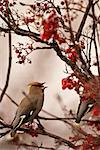 A Bohemian Waxwing feasts on Mountain Ash berries in downtown Anchorage, Southcentral Alaska, Winter/n Stock Photo - Premium Rights-Managed, Artist: AlaskaStock, Code: 854-03646273
