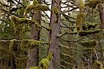 Moss hangs from the branches of old growth Spruce and Hemlock trees in Tongass National Forest, Inside Passage, Southeast Alaska, Summer Stock Photo - Premium Rights-Managed, Artist: AlaskaStock, Code: 854-03646751