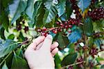 Hand Picking Coffee Berries Stock Photo - Premium Rights-Managed, Artist: Brian Pieters, Code: 700-03654501