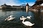 Swans and Chapel Bridge, Lucerne, Switzerland
