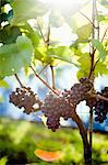 Bunch of grapes in the sun Stock Photo - Premium Royalty-Free, Artist: Aflo Relax, Code: 698-03656844
