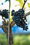 Grapes Stock Photo - Premium Royalty-Free, Artist: Aflo Relax, Code: 698-03656847